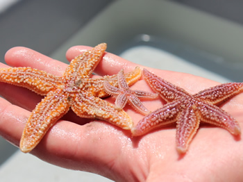 Starfish in hand